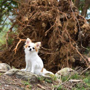 先の台風20号の爪痕。大きな樹木が根こそぎ倒れる。
